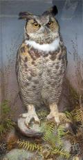 Gardner-eagle-owl